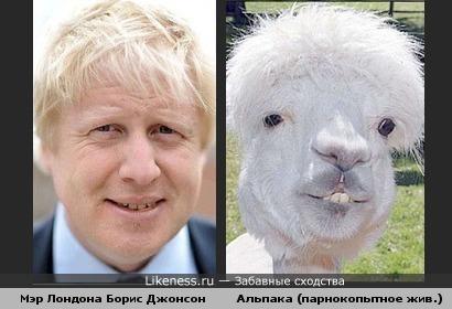 Мэр Лондона Б.Джонсон & альпака (домашнее парнокопытное животное, гибрид гуанако и викуньи (вигони))>superoofer SK