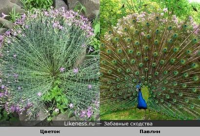 Цветок маскируется под павлина
