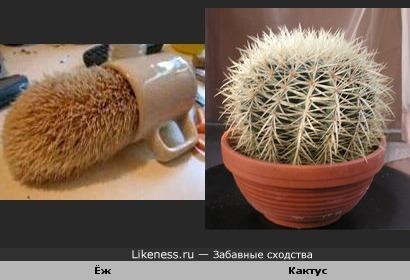 Ёжик похож на кактус