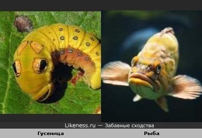 Гусеница напоминает рыбу