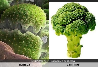 Пыльца напоминает брокколи