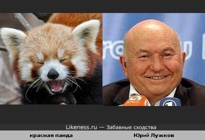 Красная панда напомнила Юрия Лужкова :))