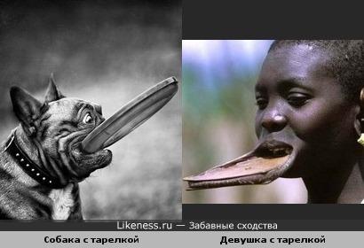 Из Африки мода на губные тарелки докатилась и до наших собак :)) Что будет дальше?..