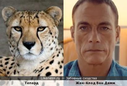 Жан-Клод Ван Дамм похож на гепарда