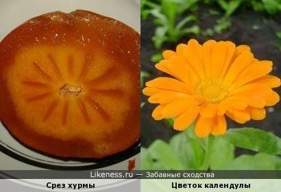 Срез хурмы похож на цветок календулы