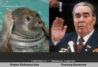 Байкальский тюлень напомнил Леонида Ильича Брежнева