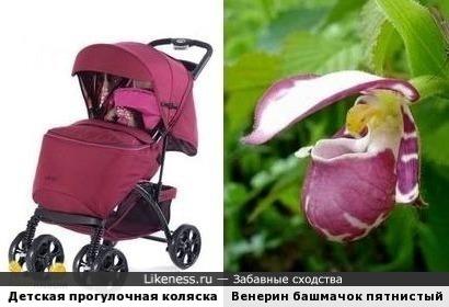 Цветок венерин башмачок напомнил детскую коляску