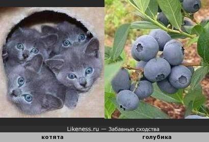 Котята напоминают ягоды черники