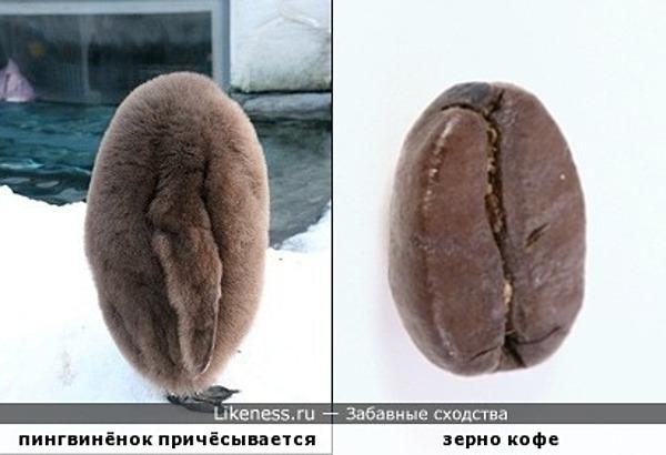 Причёсывающийся пингвинёнок похож на кофейное зерно