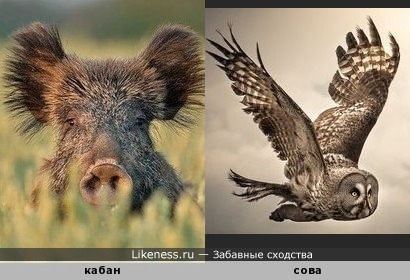 Кабан напоминает сову