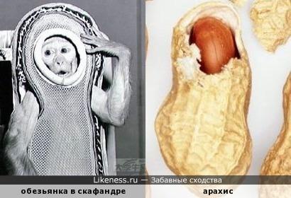Обезьянка-космонавт в скафандре-ложементе похожа на арахис