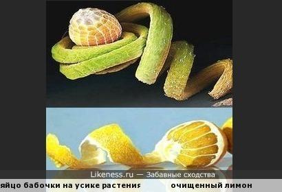 Хотя эта бабочка - не лимонница, но всё же...