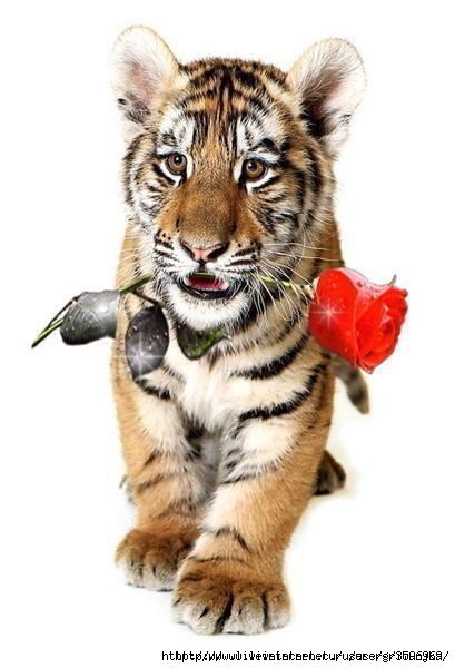 Картинки работе, открытка любимому тигру