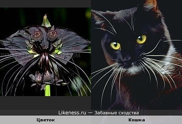 лилия черная фото